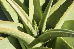 Pianta del cactus di Vera dell'aloe alla luce solare luminosa Fotografie Stock Libere da Diritti