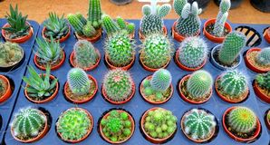 Pianta del cactus nel vaso fotografia stock