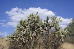 Pianta del cactus sotto la nuvola ed il cielo blu bianchi nel Messico Immagine Stock