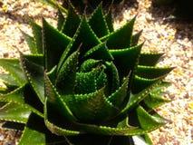 Pianta del cactus su un suolo sabbioso con i ciottoli Immagine Stock Libera da Diritti