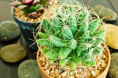 Pianta del cactus in vaso da fiori Fotografia Stock
