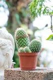Pianta del cactus in vaso da fiori Immagine Stock Libera da Diritti