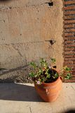 Pianta del cactus in vaso di argilla fotografie stock