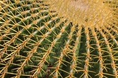 Pianta del cactus (vista alta vicina) Immagini Stock