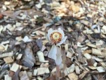 Pianta del cadavere della pianta del fantasma AKA Fotografia Stock Libera da Diritti