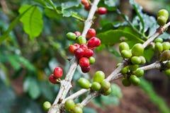 Pianta del caffè con le bacche mature Fotografie Stock