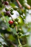 Pianta del caffè con le bacche mature sull'azienda agricola Fotografia Stock