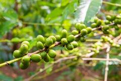 Pianta del caffè con le bacche mature sull'azienda agricola, isola di Bali Fotografia Stock