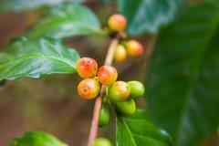 Pianta del caffè con le bacche mature sull'azienda agricola, isola di Bali Immagini Stock