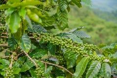 Pianta del caffè, pianta del caffè dal paese della Tailandia immagine stock libera da diritti
