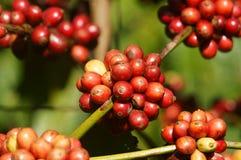 Pianta del caffè del Vietnam, chicco di caffè Fotografia Stock Libera da Diritti