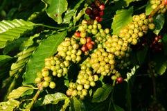 Pianta del caffè del Vietnam, chicco di caffè Fotografia Stock