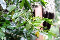 Pianta del caffè e fondo verde della natura fotografie stock