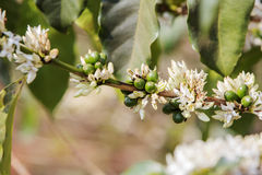 Pianta del caffè, fiore del caffè Fotografie Stock Libere da Diritti