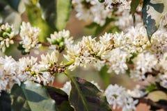 Pianta del caffè, fiore del caffè Fotografie Stock