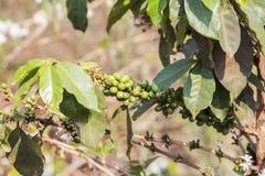 Pianta del caffè, fiore del caffè Immagini Stock Libere da Diritti