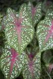 Pianta del Caladium venata rosso fotografie stock libere da diritti