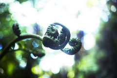 Pianta del camaleonte Fotografia Stock Libera da Diritti