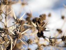 Pianta del campestre del Eryngium (eryngo del campo) nell'inverno Immagini Stock Libere da Diritti