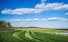 Pianta del campo di tè con cielo blu nuvoloso Fotografia Stock Libera da Diritti