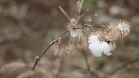 Pianta del cardo selvatico con neve che si fonde su  La primavera ora sta venendo e la neve sta cominciando fondersi archivi video