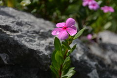 Pianta del Catharanthus Fotografia Stock