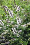 Pianta del Catmint sul giardino Fotografia Stock