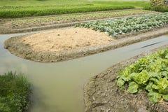 Pianta del cavolfiore in giardino dell'azienda agricola agricola della piantagione Immagine Stock Libera da Diritti