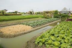 Pianta del cavolfiore in giardino dell'azienda agricola agricola della piantagione Fotografie Stock Libere da Diritti