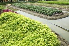 Pianta del cavolfiore in giardino dell'azienda agricola agricola della piantagione Fotografia Stock