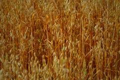 Pianta del cereale Immagini Stock