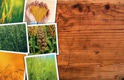 Pianta del cereale che coltiva in collage della foto di agricoltura Fotografia Stock Libera da Diritti