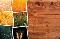 Pianta del cereale che coltiva in collage della foto di agricoltura Immagine Stock Libera da Diritti