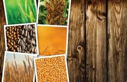 Pianta del cereale che coltiva in collage della foto di agricoltura Fotografie Stock