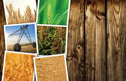 Pianta del cereale che coltiva in collage della foto di agricoltura Fotografie Stock Libere da Diritti