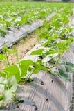 Pianta del cetriolo Fotografie Stock