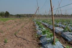 Pianta del cetriolo in campagna Tailandia Fotografie Stock Libere da Diritti