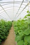 Pianta del cetriolo che coltiva serra interna in azienda agricola Immagine Stock Libera da Diritti