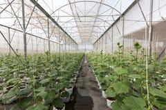 Pianta del cetriolo che cresce nella serra con irrigazione a goccia Fotografia Stock Libera da Diritti