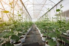 Pianta del cetriolo che cresce nella serra con irrigazione a goccia Fotografia Stock