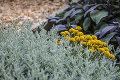 Pianta del curry in fioritura Fotografie Stock Libere da Diritti