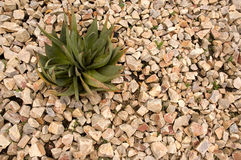 Pianta del ferox dell'aloe in un giardino di rocce Fotografia Stock Libera da Diritti