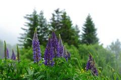 Pianta del fiore del lupino nella riserva naturale della foresta nera Immagine Stock Libera da Diritti