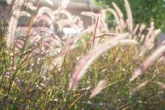 Pianta del fiore dell'erba nel tramonto Immagini Stock