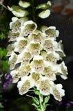 Pianta del fiore di Bell in un giardino fotografie stock