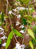 pianta del fiore di pigion Fotografia Stock