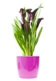 Giglio di calla viola isolato fotografia stock immagine for Calla pianta