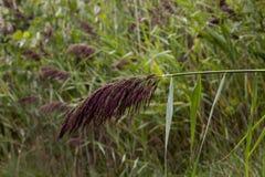 Pianta del grano Fotografie Stock Libere da Diritti