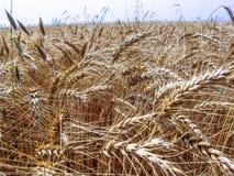 Pianta del grano nel campo Immagine Stock