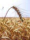 Pianta del grano nel campo Fotografia Stock